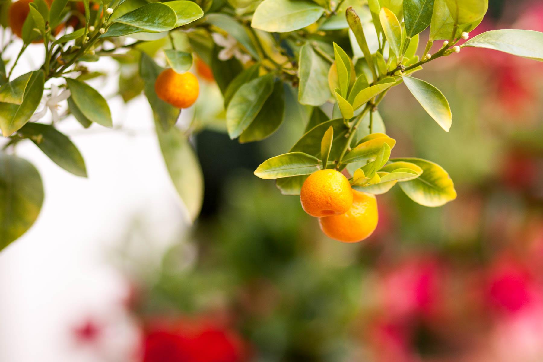 Fruchtbarer Zitronenbaum